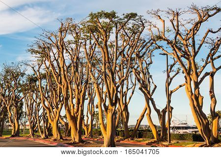 A grove of coral trees at the entrance to Embarcadero Park South in San Diego, California.