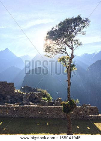 Tree growing from ruins at Macchu Picchu