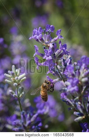 Honey Bee Collecting Nectar On Lavender Blossom