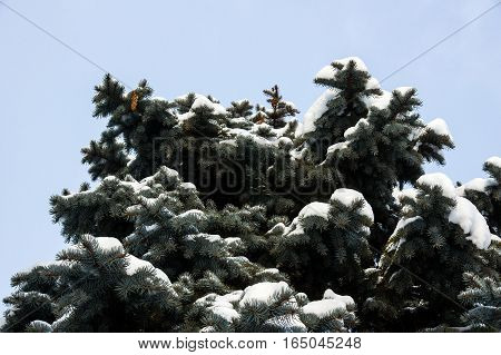 The top of the crown of blue spruce under snow on a background of pale blue sky