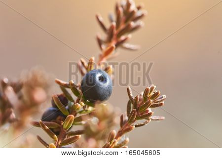 Ripe crowberry growing on the far East of Russia