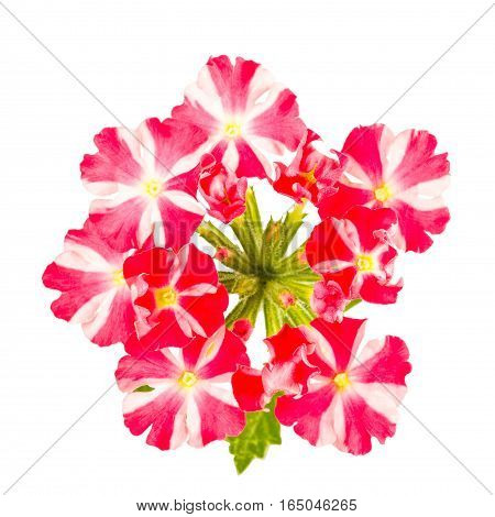 Close up of red and white verbena flower cluster isolated on white.