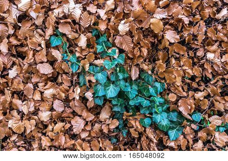 A streak of green ivy surrounded by brown dead ivy