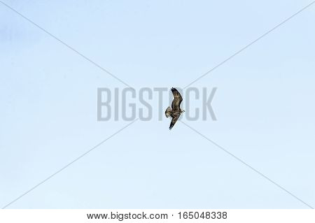 Osprey (Pandion haliaetus) in banking turn asymmetrical wings