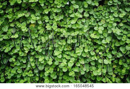 Creeping  charley leaves, plant background and texture