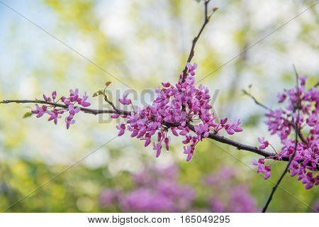 Redbud tree blossoms with intentionally blurred background