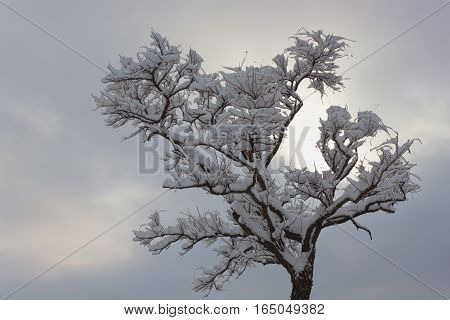 Lonely acacia without leaves abundantly covered with snow in the background slightly brightens the sky
