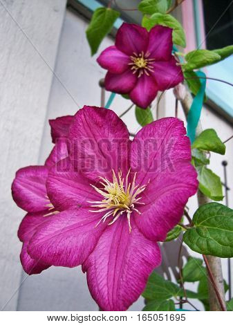 Bright pink flowers with a yellow center, climbing up the wall outside the house. Beautiful spring or summer blooms.