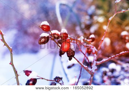 Frosted red rose hips in winter.the red berries of a rose-hip in the winter in snow