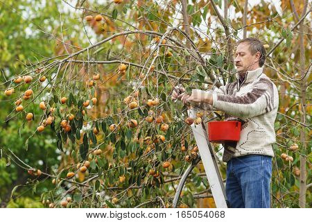 A middle-aged man with a ladder gathers persimmon fruit in the garden.