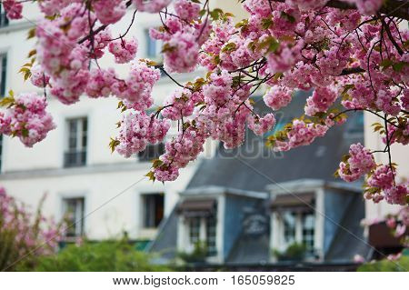 Typical Parisian Building And Cherry Blossom Trees