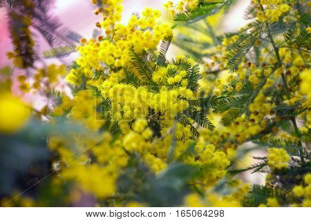 beautiful background of the mimosa blossoms flowers