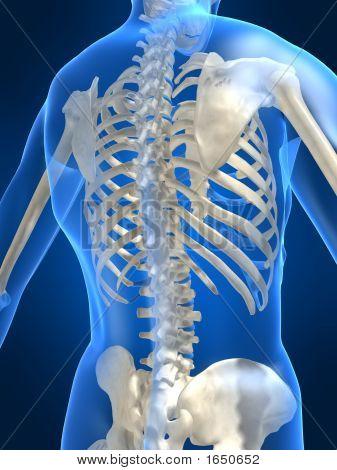 Human Skeletal Back