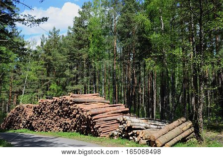 Harvested dry wood in a summer forest