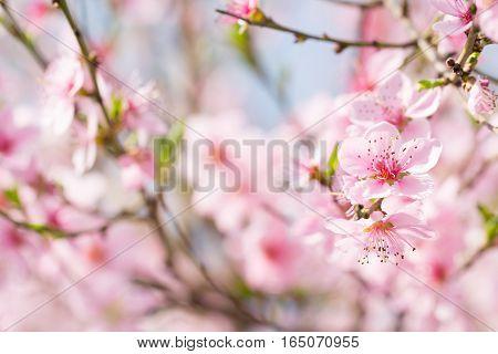 Pink cherry peach flower bud spring blossom background