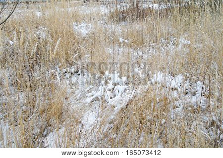 snow in a dried grass on the wilderness