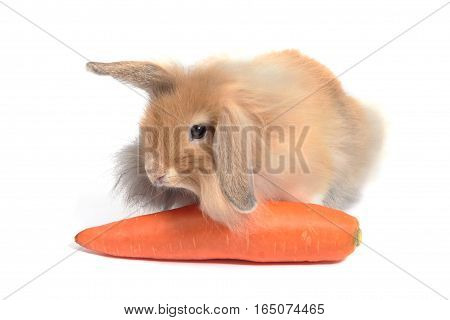 Brown Hollands Lops Rabbits With Carrot On White Background