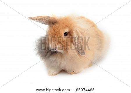 Brown Hollands Lops Rabbits On White Background