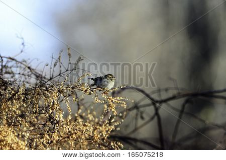Female House Finch with catch light perched on bush