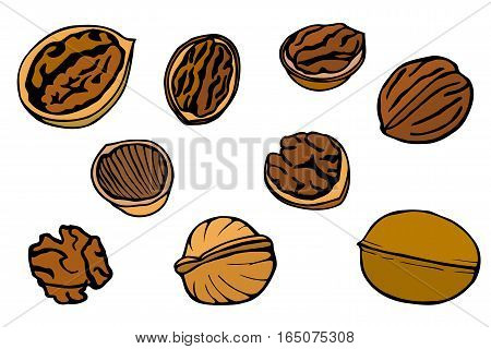 Colored Walnut set, hand drawn vector illustration. Isolated