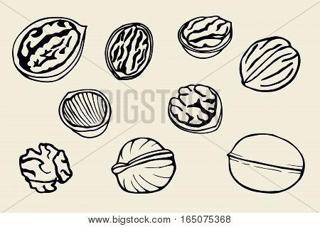 Walnut set, hand drawn vector illustration. Isolated
