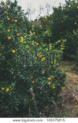 Orange trees with wild ripe oranges in mountain garden in Dim Cay district of Alanya on gloomy day, Antalya province, Mediterranean Turkey
