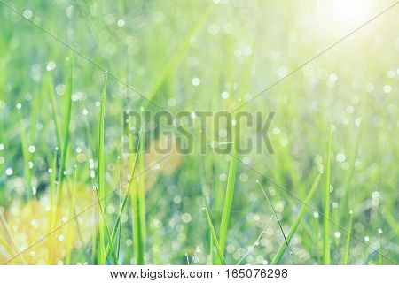 Soft focus of drops of dew on green grass in morning with sunlight and flare. Vintage filtered.