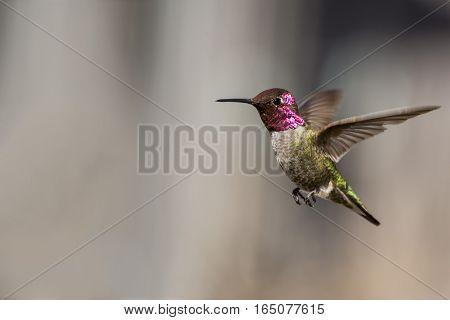 A hummingbird hovers gracefully in a suburban backyard.