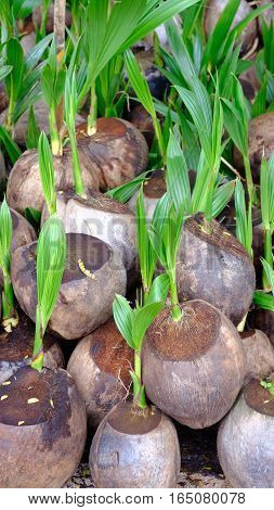 Sprout of coconut tree in the big garden