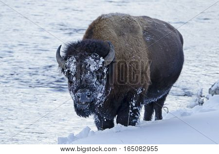 A wildlife capture of an American bison standing in the snow. January 2017