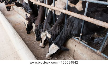 cows at barn stall in the big farm