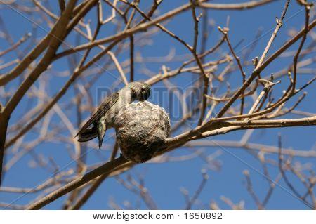 Hummingbird auf nest