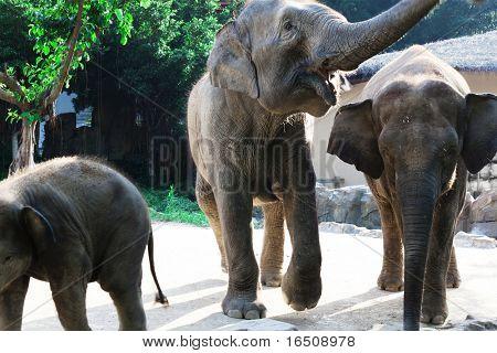 Three elephants walk on a sunny day