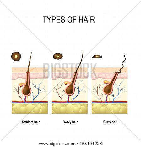 Types of hair: straight wavy and kinky. cross section of Human skin layers with hair follicle. Cross section of different hair texture