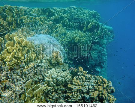 Underwater world with coral and tropical fish, coral reef life, colorful corals,  corals landscape