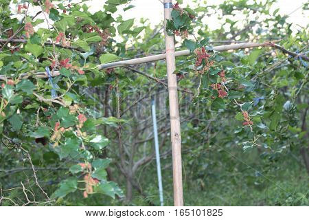 Black Ripe And Unripe Mulberries (red And Green) On The Branch.
