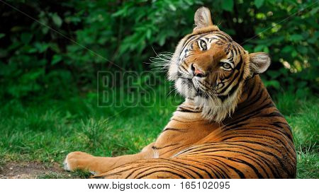 Royal Bengal Tiger taking rest in the jungle India