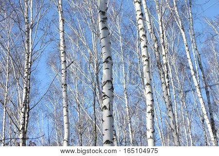 Beautiful landscape with white birches. Birch trees in bright sunshine. Birch grove in autumn.