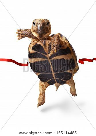 Little turtle runner wins by crossing the finish line isolated on white