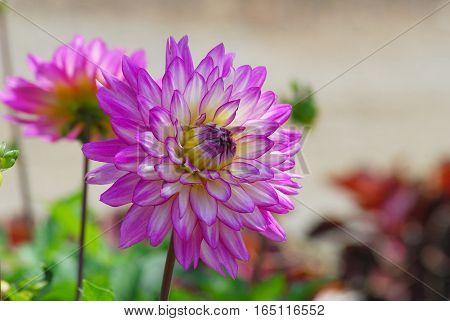 Soft Focus Variegated Dahlia in the Garden