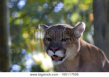 A cougar at the Toronto zoo looking at the camera