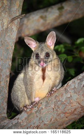Australian Brushtail possum, Trichosurus vulpecula, climbing a tree in a Sydney backyard. Chest fur stained brown from scent glands used to mark territory.