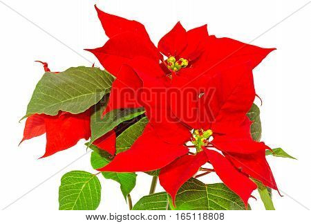 The Poinsettia (euphorbia Pulcherrima) With Red And Green Foliage, Christmas Floral. White Backgroun
