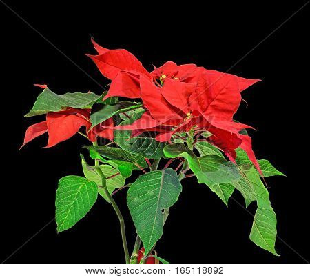 The Poinsettia (euphorbia Pulcherrima) With Red And Green Foliage, Christmas Floral. Black Backgroun