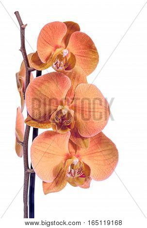 Orange Branch Orchid  Flowers, Orchidaceae, Phalaenopsis Known As The Moth Orchid, Abbreviated Phal.