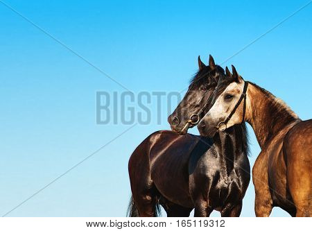 Doubles portrait black and light horse against the blue sky. Two horses stand side by side, nose to nose. Horse couple.