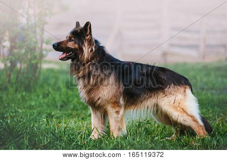 Beautiful German Shepherd dog breed with long hair standing in a rack on blurred background in full growth