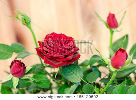 Dark Red Roses Flower Bush With Buds In A Brown Vase, Flowerpot,  Green Leaves, Close Up, White Back