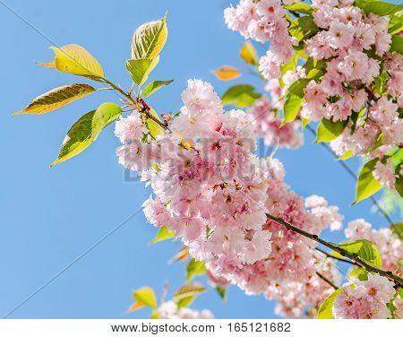 Pink Tree Flowers Of Prunus Serrulata Kanzan, Branch Flowers, Japanese Cherry, Floral Background, Cl