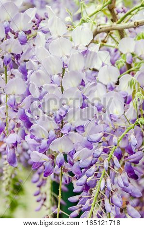 Mauve Wisteria Sinensis (chinese Wisteria), Glicina Tree Flowers, Close Up.